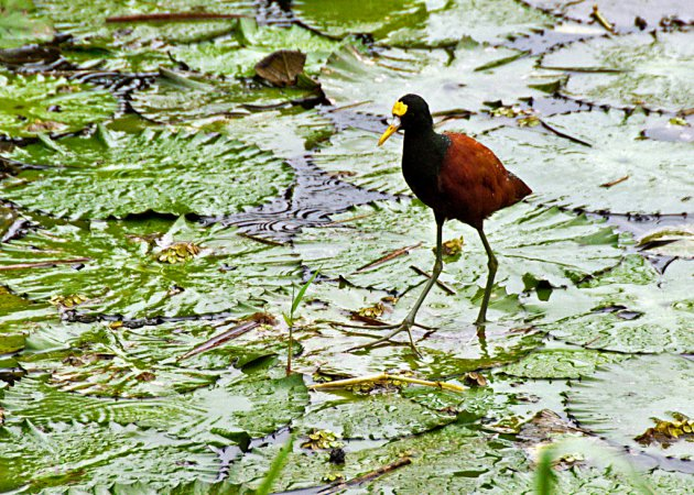 Photo (20): Northern Jacana