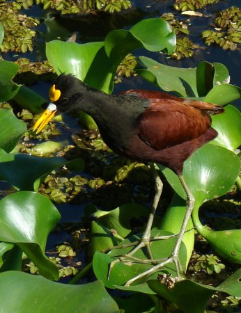 Photo (1): Northern Jacana