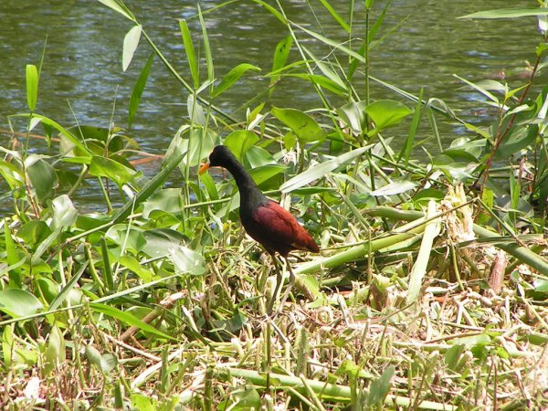 Photo (22): Northern Jacana