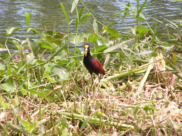 Photo (14): Northern Jacana