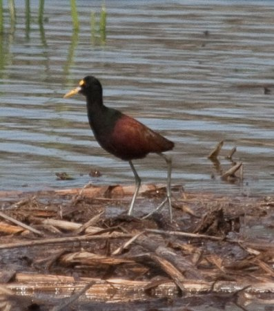 Photo (21): Northern Jacana