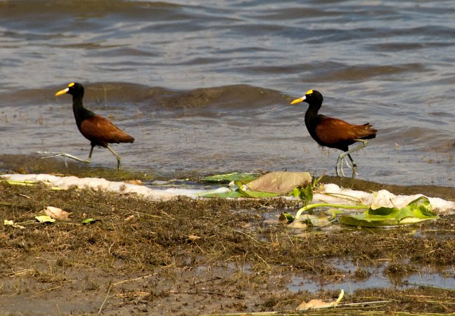 Photo (9): Northern Jacana