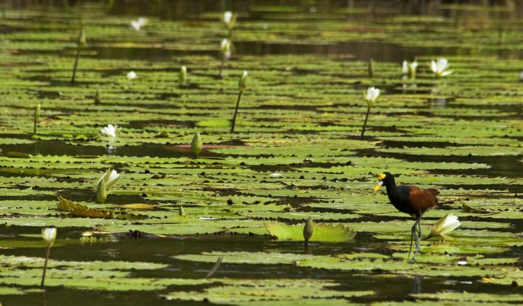 Photo (13): Northern Jacana
