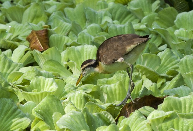 Photo (23): Northern Jacana