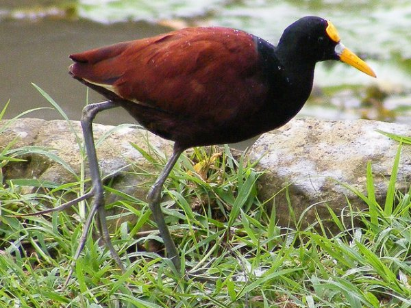 Photo (5): Northern Jacana
