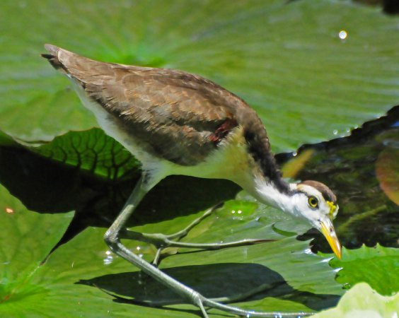 Photo (24): Northern Jacana