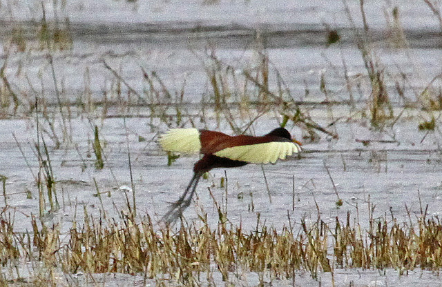 Photo (15): Northern Jacana