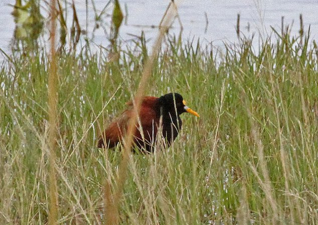 Photo (18): Northern Jacana