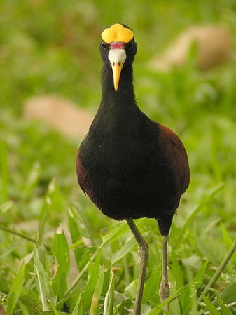 Photo (4): Northern Jacana