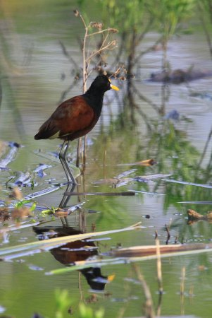 Photo (11): Northern Jacana
