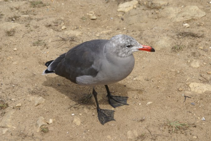 Photo (12): Heermann's Gull