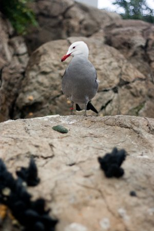 Photo (4): Heermann's Gull
