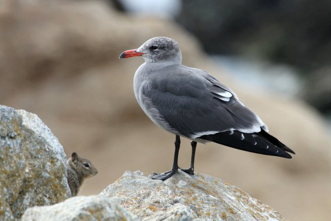 Photo (10): Heermann's Gull