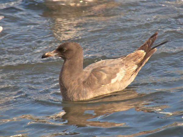 Photo (22): Heermann's Gull