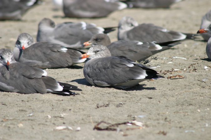 Photo (9): Heermann's Gull