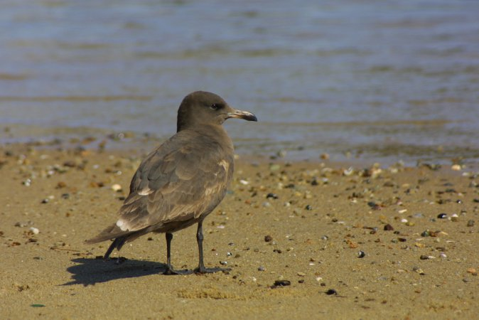 Photo (17): Heermann's Gull