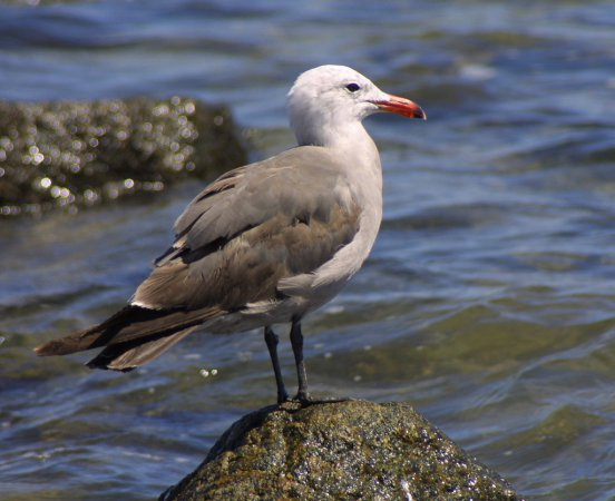 Photo (7): Heermann's Gull
