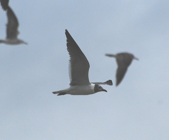 Photo (5): Franklin's Gull