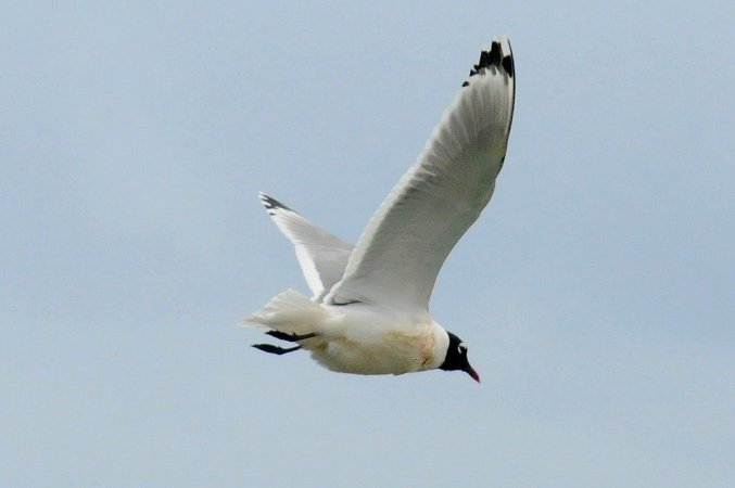 Photo (6): Franklin's Gull