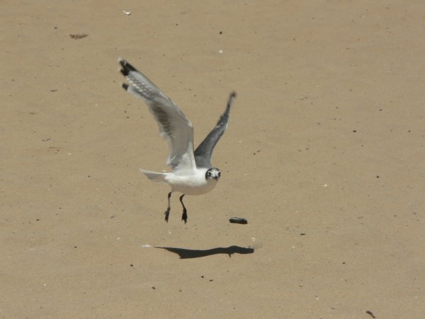 Photo (14): Franklin's Gull