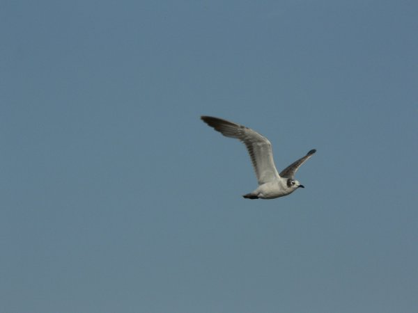 Photo (15): Franklin's Gull