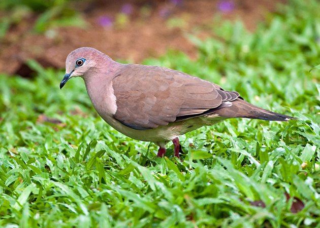 Photo (5): White-tipped Dove