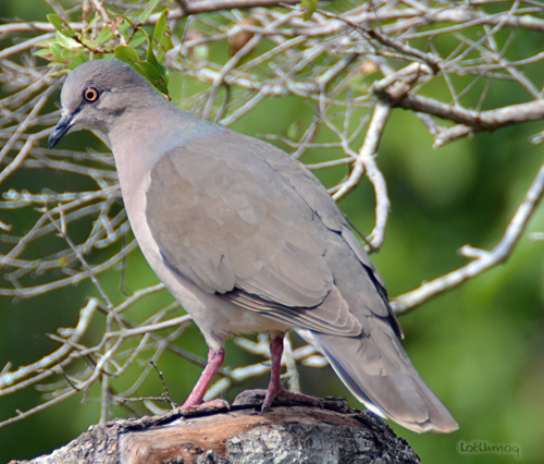 Photo (9): White-tipped Dove