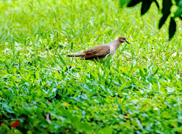 Photo (11): White-tipped Dove