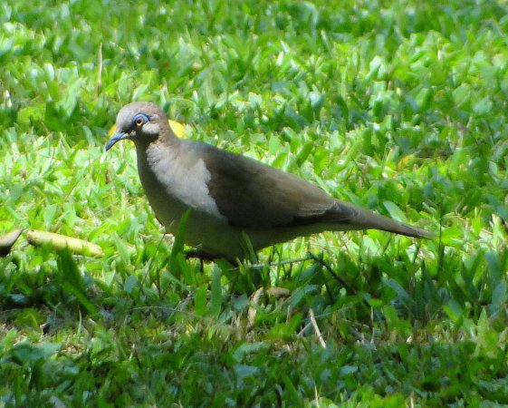 Photo (6): White-tipped Dove