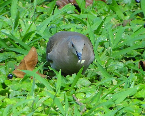 Photo (14): White-tipped Dove