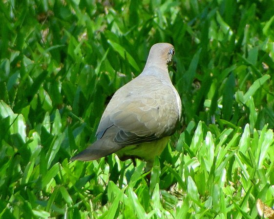 Photo (15): White-tipped Dove