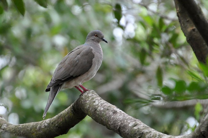 Photo (7): White-tipped Dove
