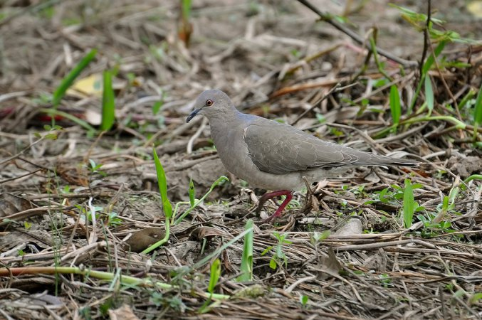 Photo (8): White-tipped Dove