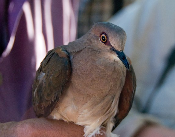 Photo (12): White-tipped Dove