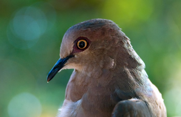 Photo (17): White-tipped Dove