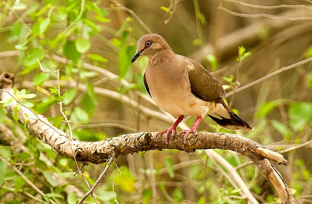 Photo (16): White-tipped Dove
