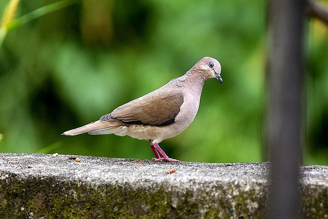 Photo (13): White-tipped Dove