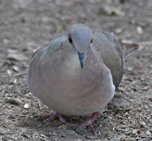 Photo (22): White-tipped Dove