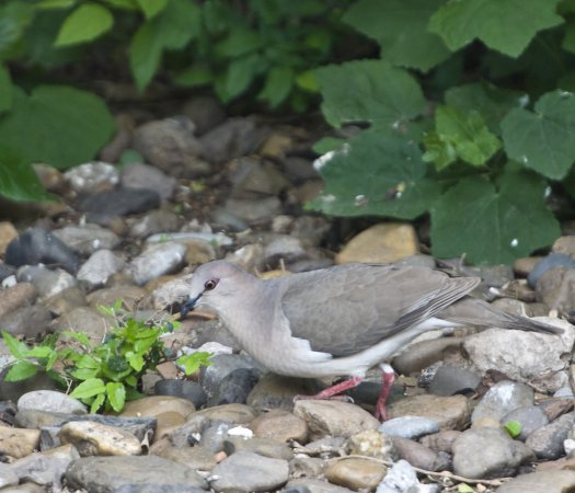 Photo (19): White-tipped Dove