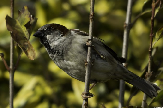 Photo (12): House Sparrow