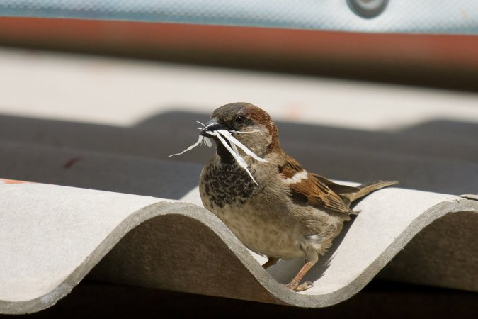 Photo (7): House Sparrow