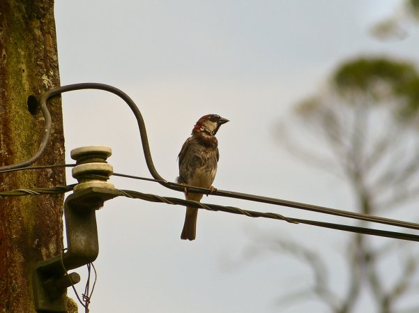 Photo (16): House Sparrow