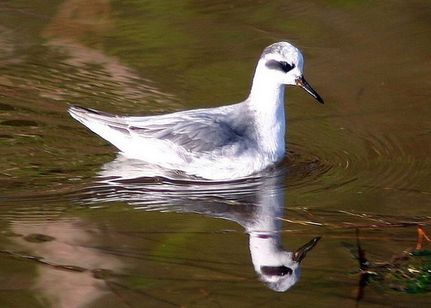 Photo (22): Red Phalarope