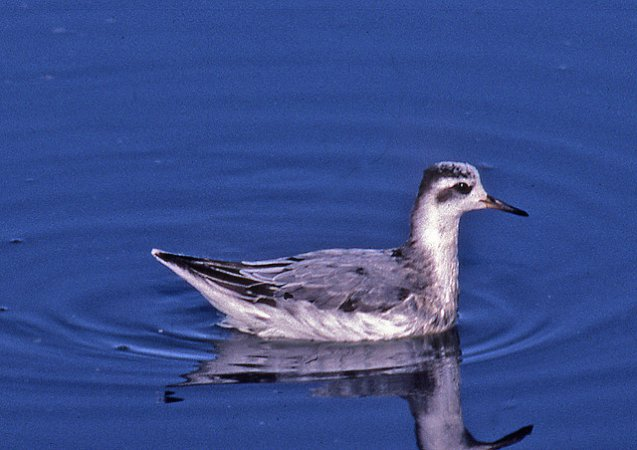 Photo (18): Red Phalarope