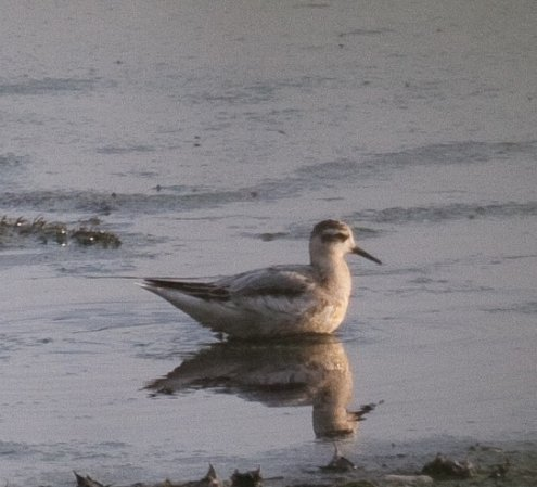 Photo (23): Red Phalarope