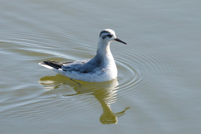 Photo (11): Red Phalarope