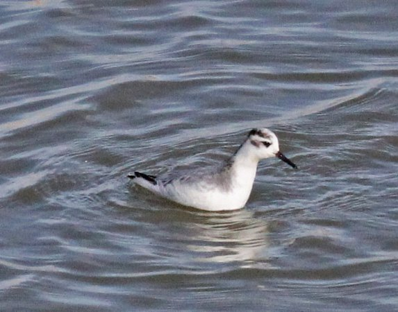 Photo (17): Red Phalarope