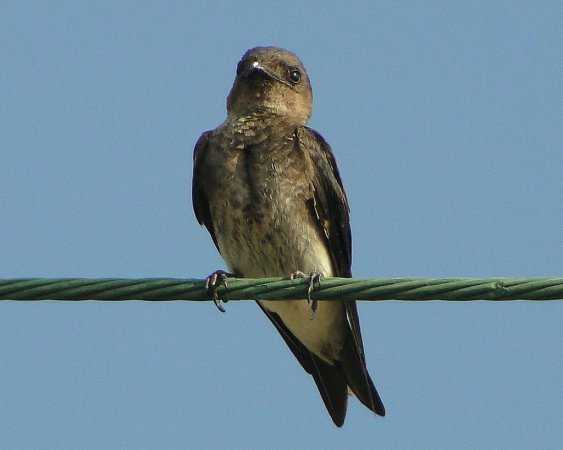 Photo (7): Purple Martin