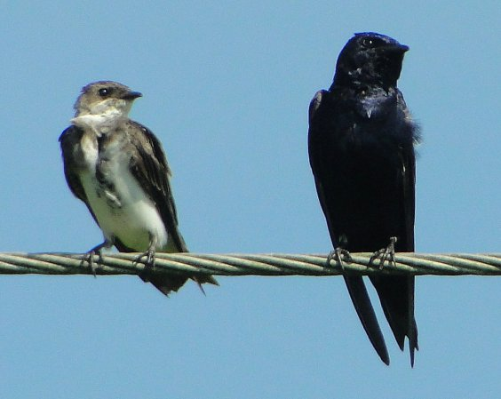 Photo (13): Purple Martin