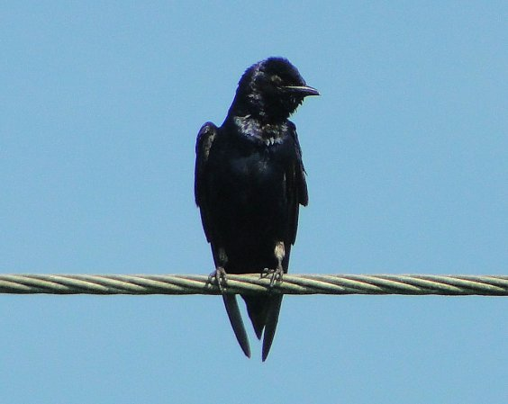 Photo (15): Purple Martin